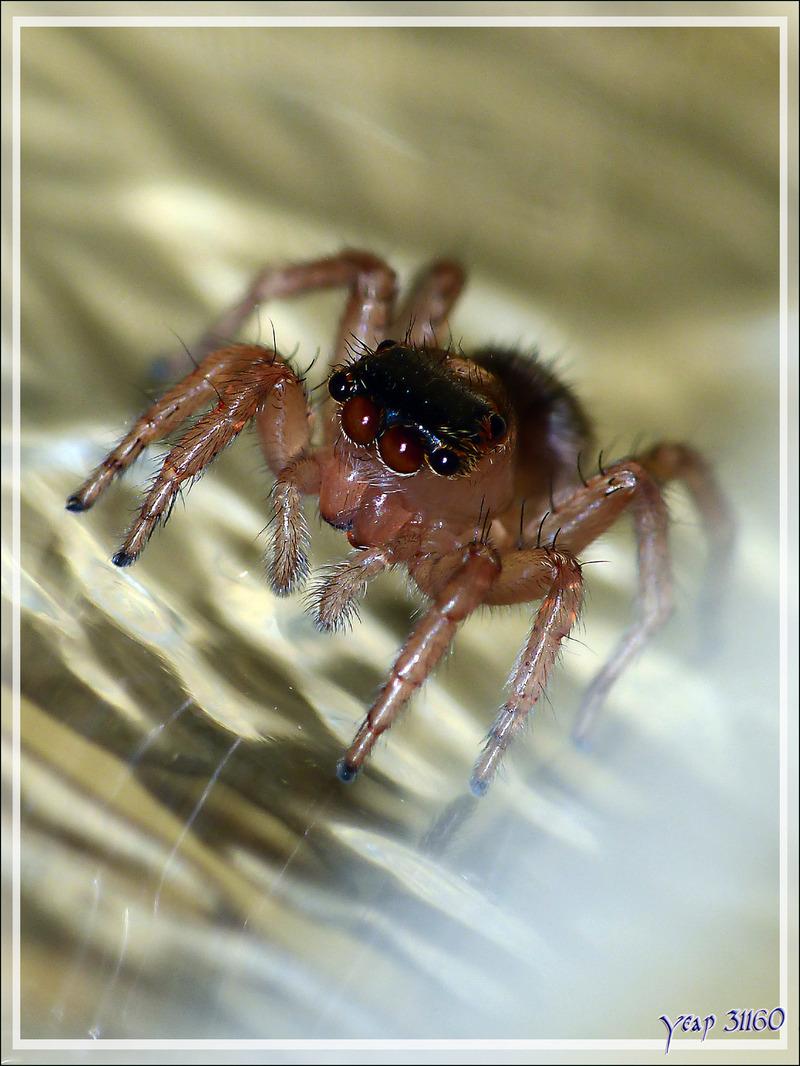 Araignée sauteuse (Saitis barbipes) femelle - La Couarde-sur-Mer - Île de Ré - 17