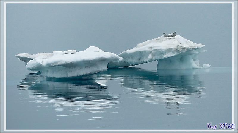 Le repos du phoque - Mer des Tchouktches - Alaska