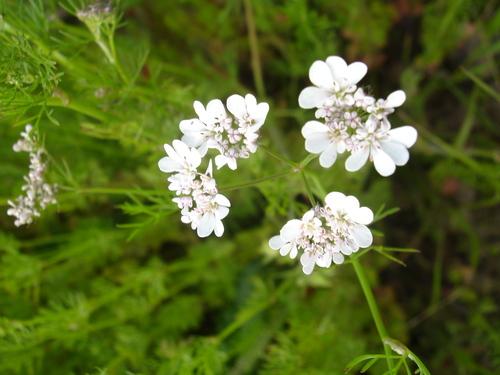 fleur de coriandre