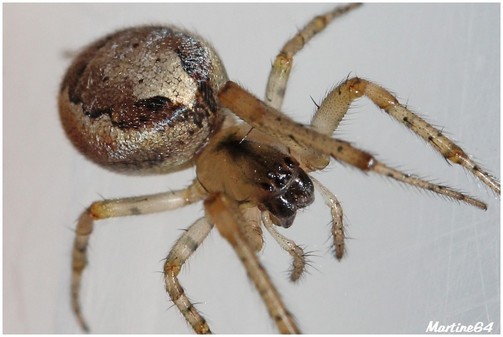 Araignée : Zygiella