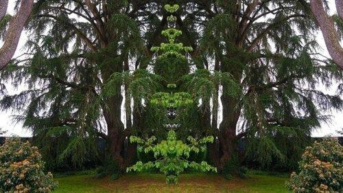 Un cèdre pluricentenaire sauvé