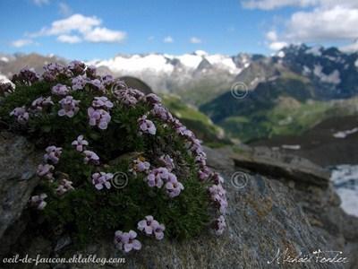 fleurs de montagnes