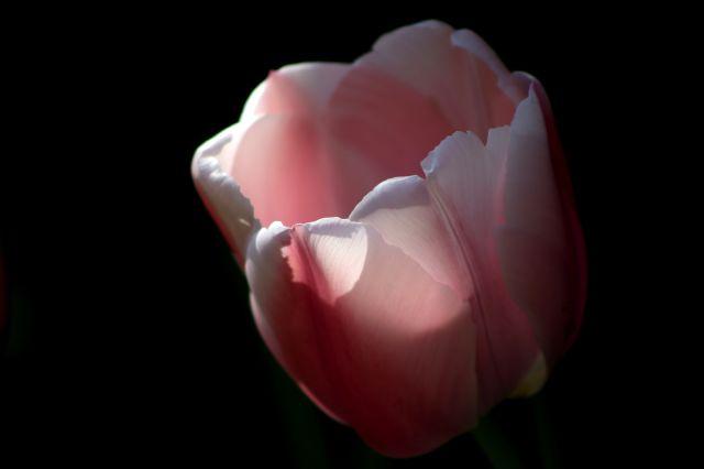 Tulipes 2017 : Oullioules