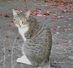 Pipo, chat européen, garde de chat à Nantes