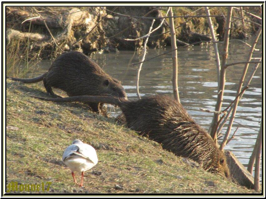 Distribution de nourriture pour les animaux des marais (Rochefort)