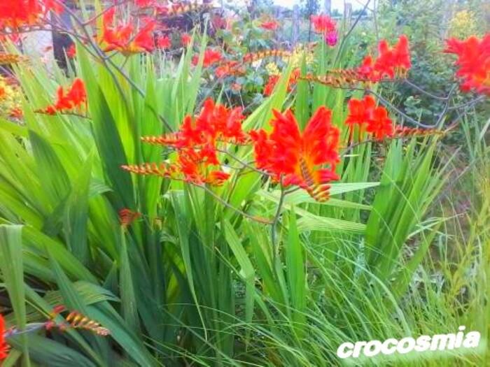 mes crocosmias dans mon jardin