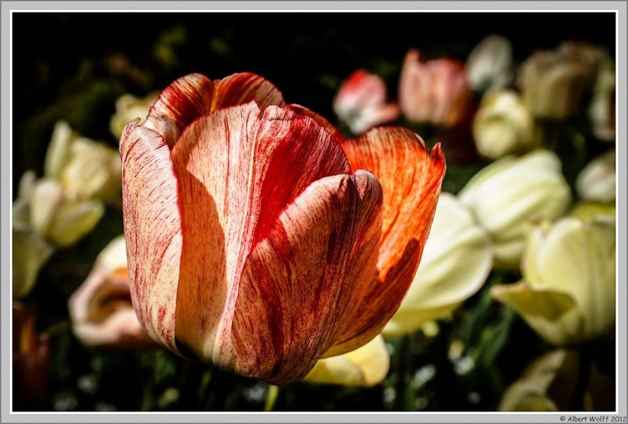 Les tulipes suisses - 2 -