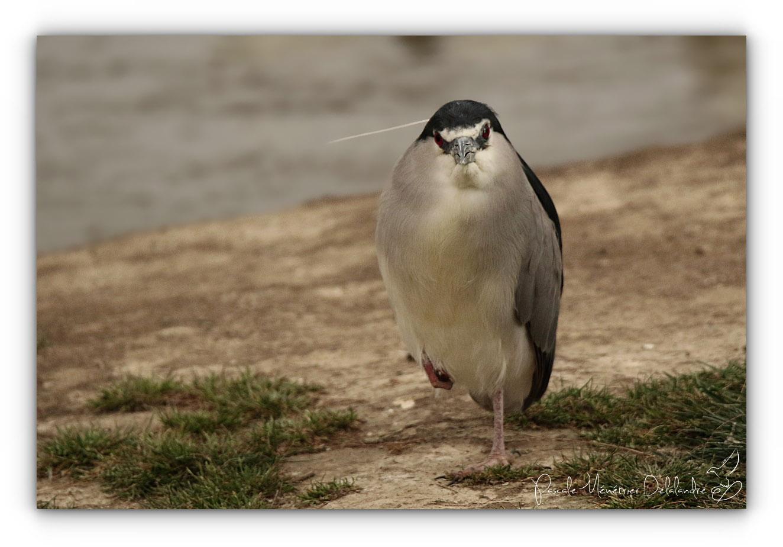 Bihoreau gris expressif
