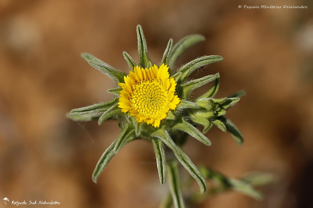 Astérolide épineux, le Buphthalme épineux ou le Pallénis épineux (Pallenis spinosa)