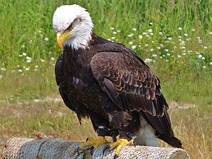 Jour 29 Grouse Mountain aigle