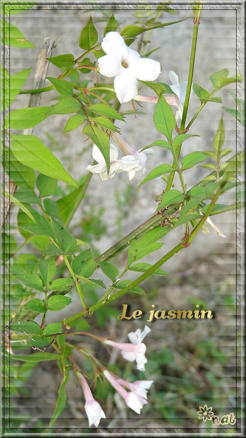 Mes premières fleurs de jasmin