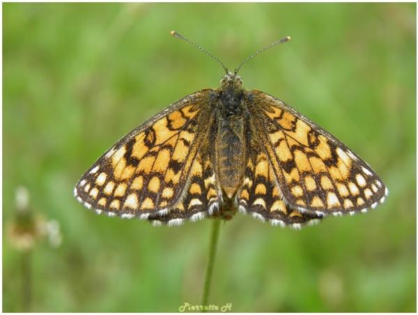 Papillon Mélitée du Plantin et sa chenille