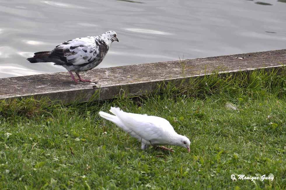 Pigeons et canards en bordure de Marne