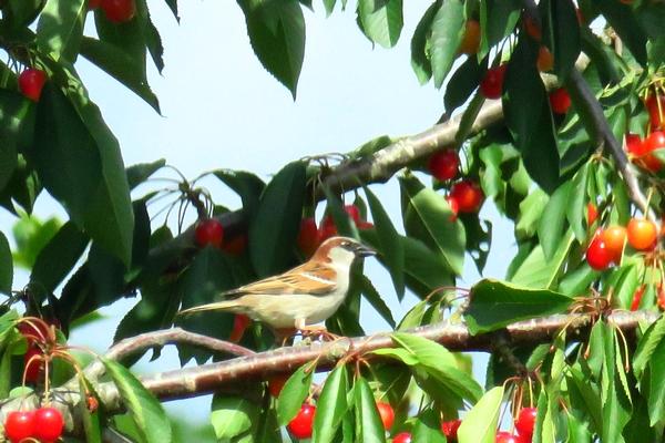 Les oiseaux de mon jardin ont adoré ...les cerises !