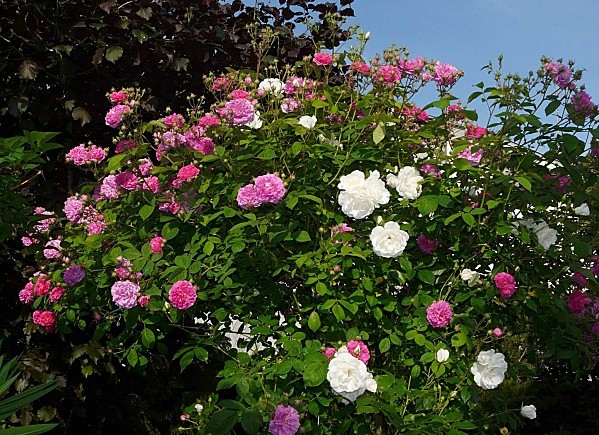 Rosier-anciens--05-05-11-023.jpg