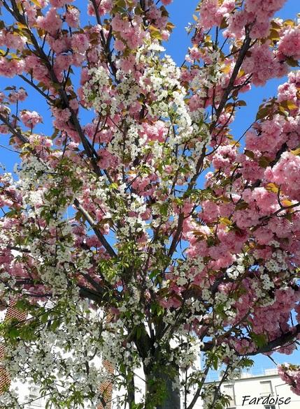 Le cerisier du Japon retourne à son état naturel