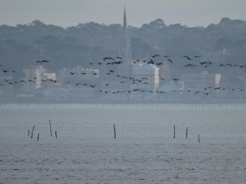 Vol d'oies bernaches sur le Bassin d'Arcachon...