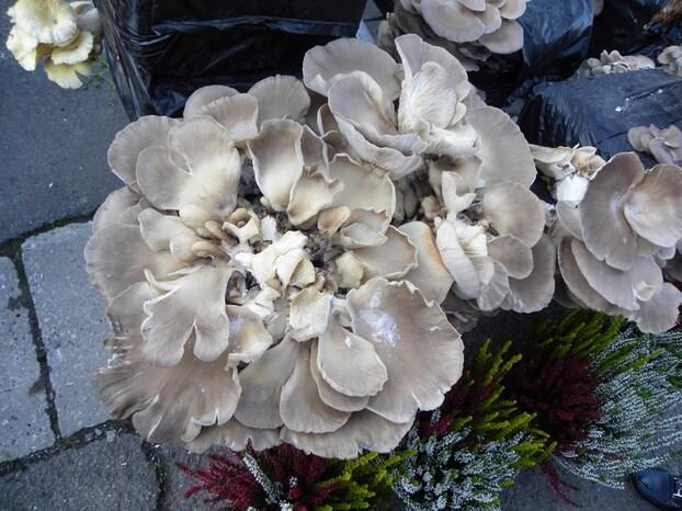 Culture champignons 2