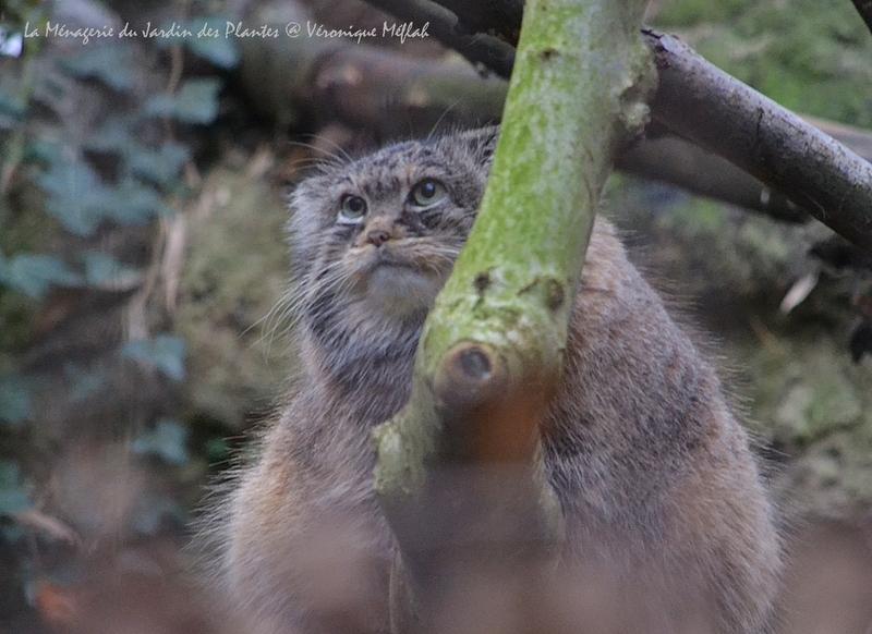 Ménagerie du Jardin des Plantes : Le Chat de Pallas ou Chat Manul