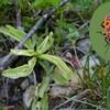 2G d'Aydius: Gendarme (Pyrrhocoris apterus) et Grassette à longues feuilles (Pinguicula longifolia)