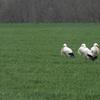 Cigognes blanches (Quiers 20 mars 2017 @ Joël Savry)