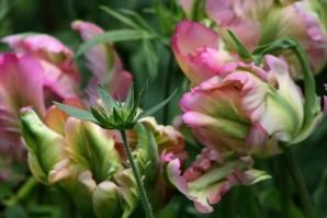 Tulipes Greenwave3