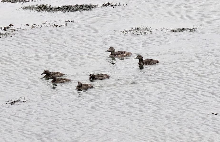 Des canards de race inconnue pour nous.