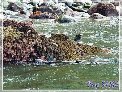 Sur les plages et dans le rochers, nous avons pu observer : Gorfous, Otaries, Éléphants de mer, et ... ordures - Inaccessible Island - Tristan da Cunha