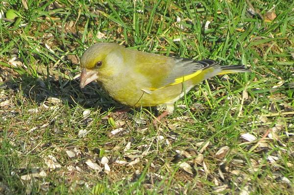 Dix-huit sortes d'oiseaux différents ont fréquenté mon jardin durant l'hiver 2015-2016...