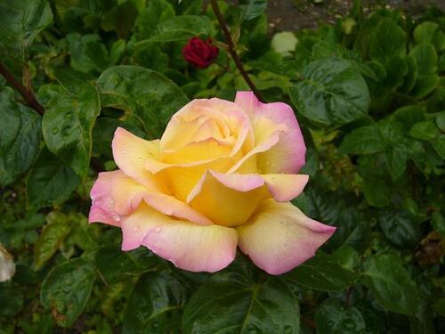 La beauté des roses du jardin