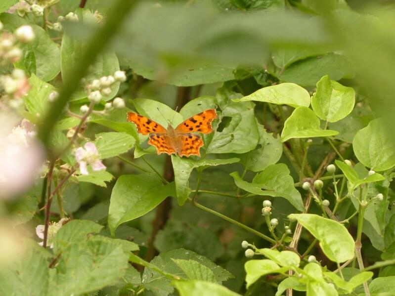 Oranges les papillons