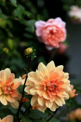 Dahlias : Apricot Desire