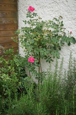 le rosier Gite de France