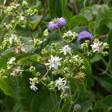 tianshan linaria geranium