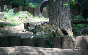 Loup du Mexique