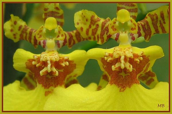 Orchidées : Fleurs d'Oncidium