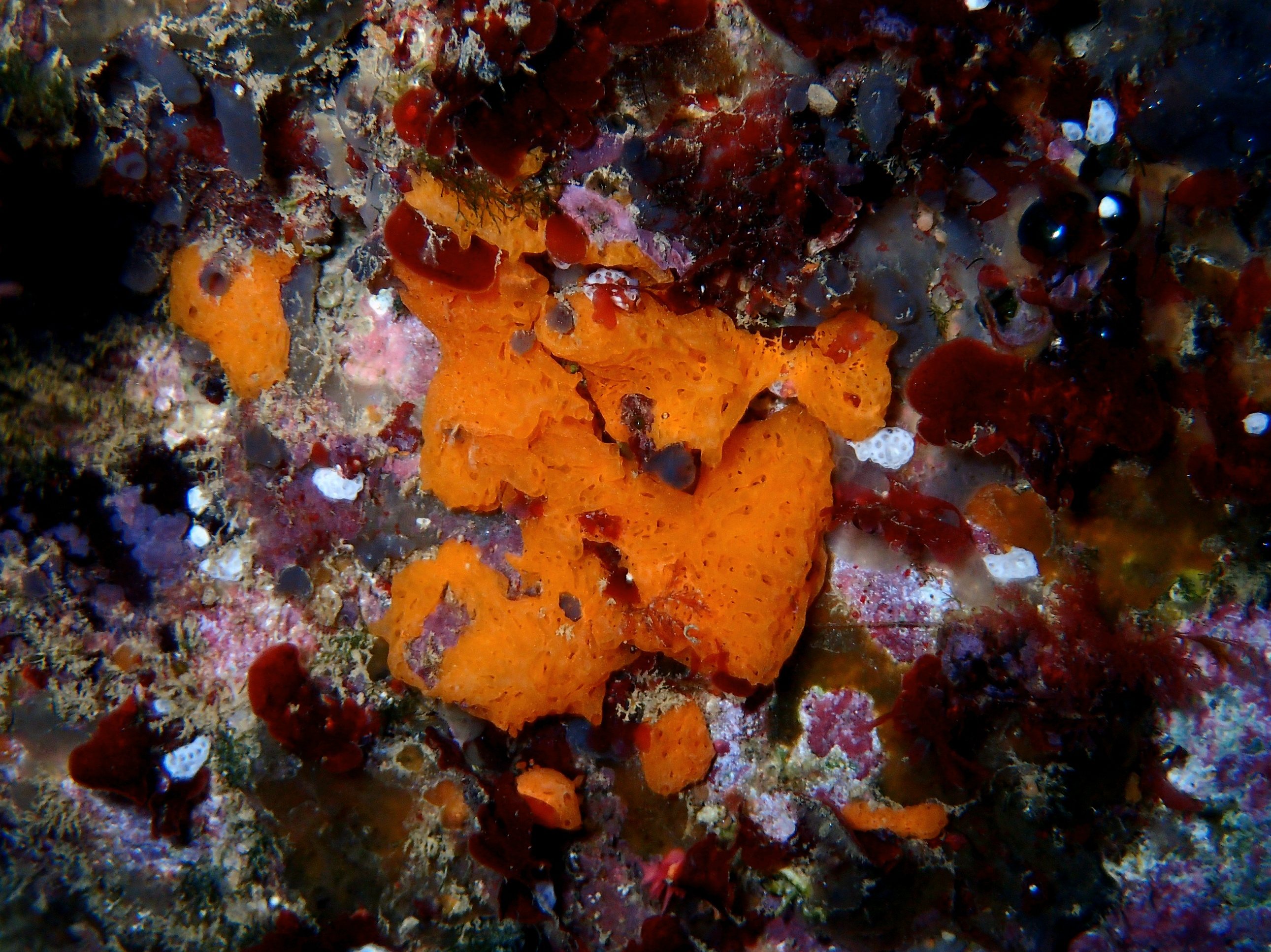 clathrine orange