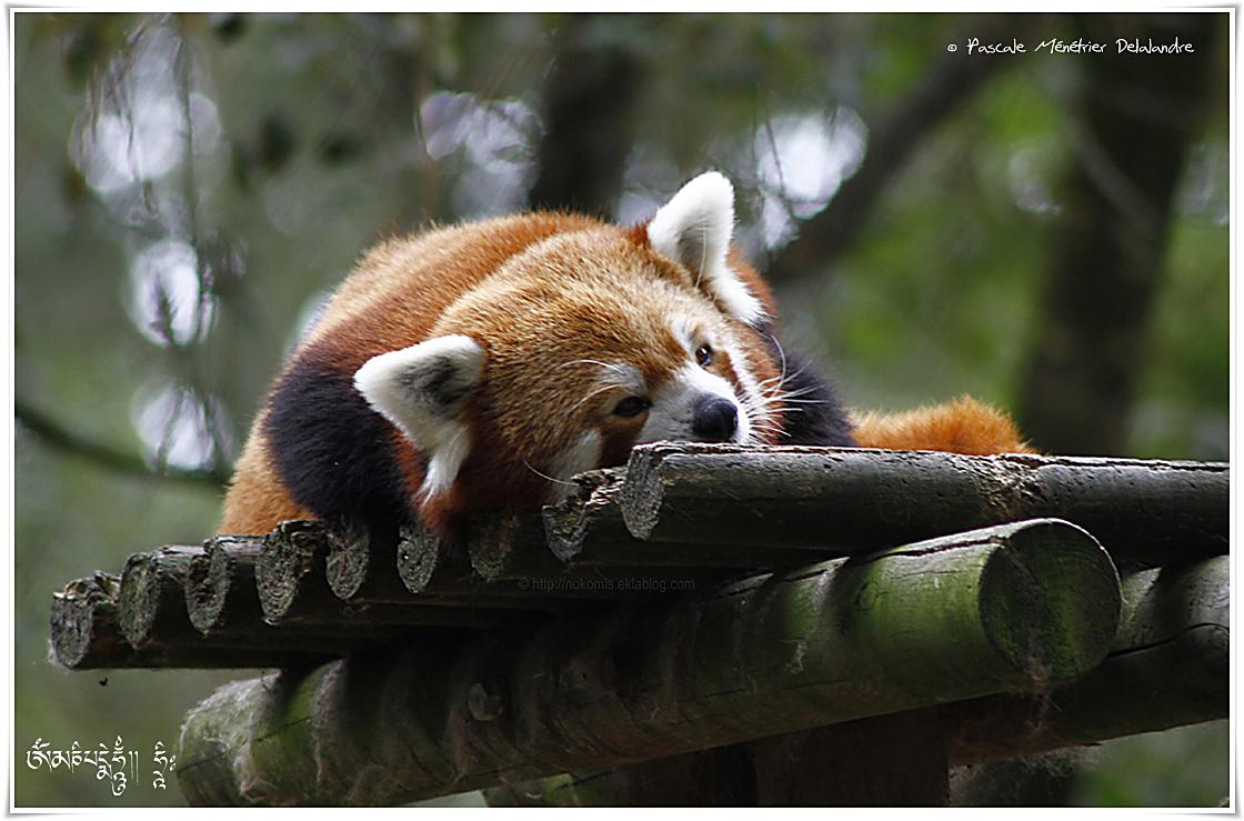 Petit panda - Panda roux - Ailurus fulgens