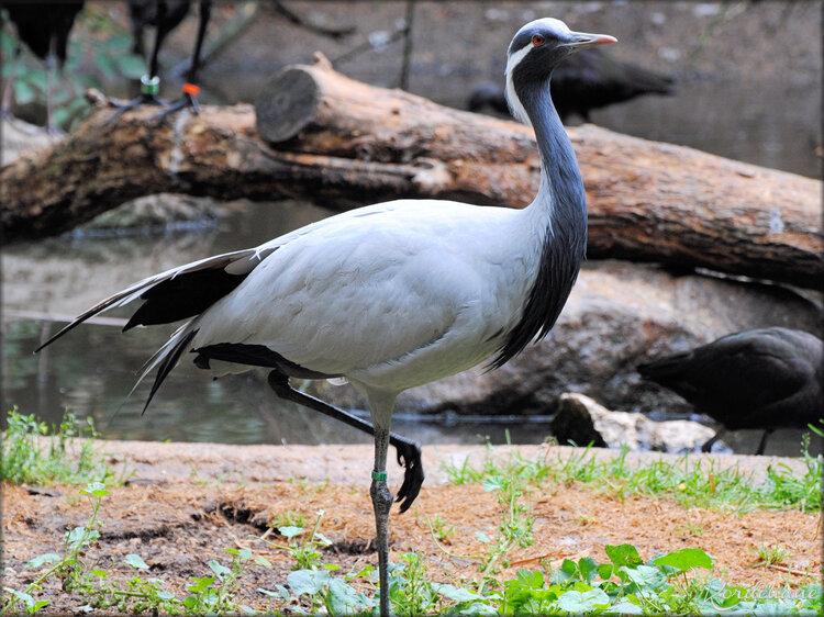 Grue Demoiselle (Zoo de Doué la Fontaine)