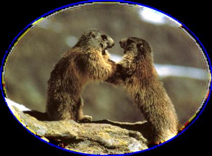La marmotte