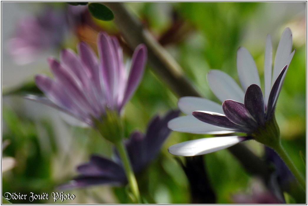 Souci Pluvial / Dimorphoteca pluvialis
