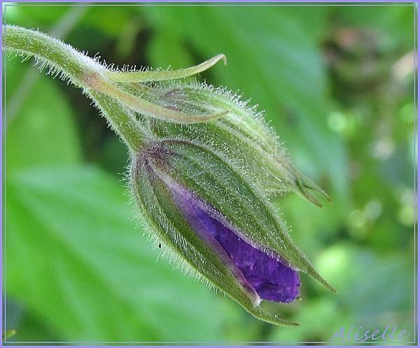 Geranium-vivace-bleu-violet-2.JPG