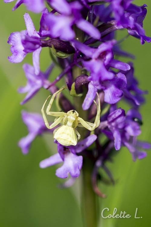 Orchis brochés