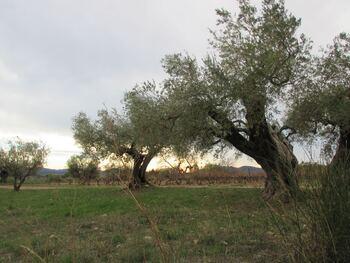 Des oliviers archicentenaires