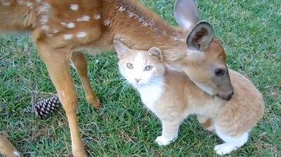 Rencontre d'un faon et d'un chat
