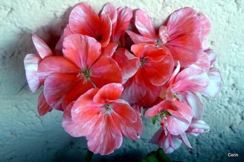 Fleurs roses de géranium