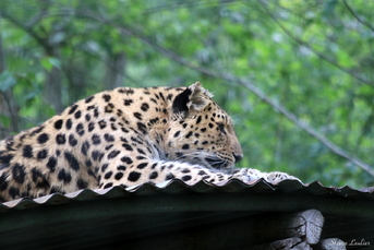 Panthère ou léopard de l'Amour