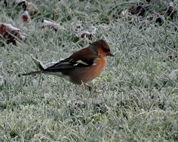 Seulement quelques espèces d'oiseaux ont visité mon jardin cet hiver...
