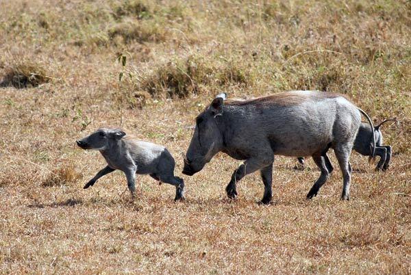 Femelle phacochère et son petit