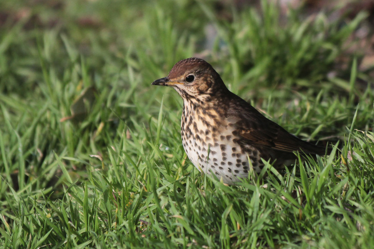 La grive musicienne(The Song Thrush)